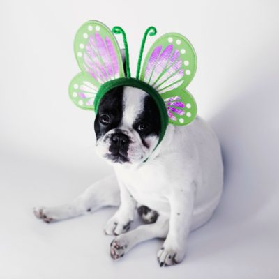 Boston dog with halloween butterfly ears for Halloween tips blog post