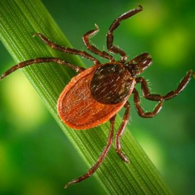 Ticks image in grass for Ticks and dogs FAQs